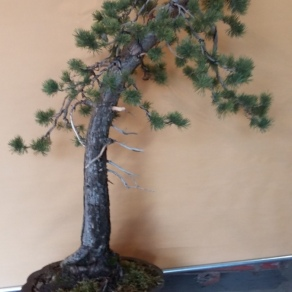 zahradnictvo-suslik-servis-predaj-bonsajov_02